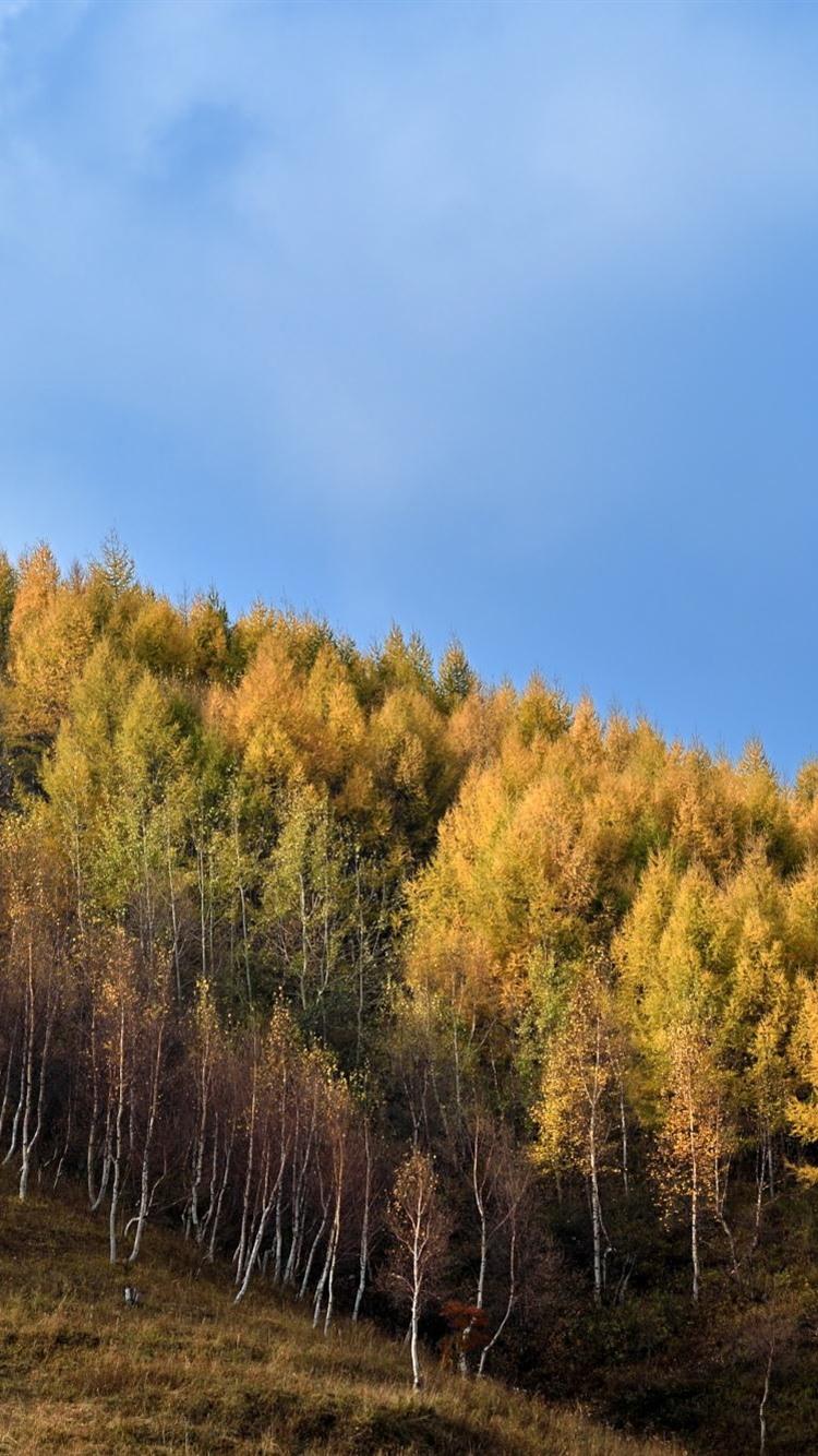 Wallpaper Gold Autumn Birch Forest Slope 1920x1200 Hd