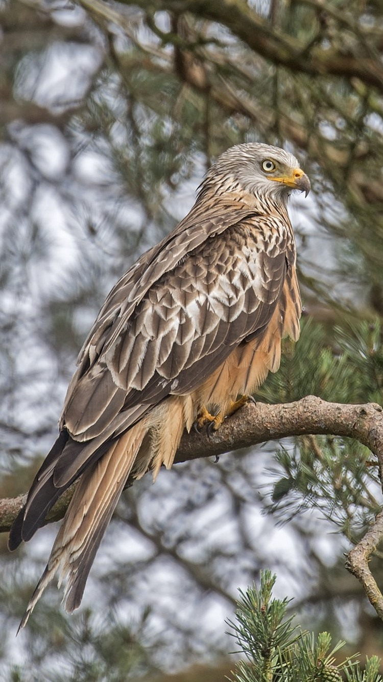 Wallpaper hawk bird tree twigs 1920x1200 hd picture image - Hawk iphone wallpaper ...