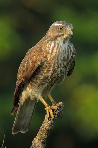 iPhone Wallpaper Hawk, predator, stay