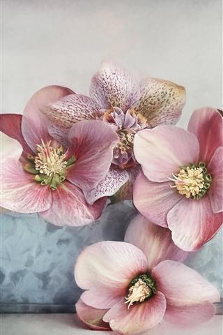 iPhone Wallpaper Hellebore, pink flowers close-up