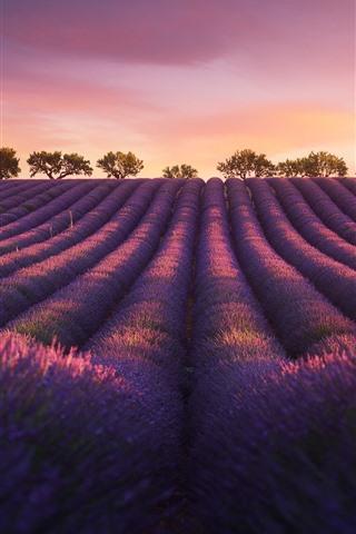 iPhone Wallpaper Lavender, evening, trees, dusk