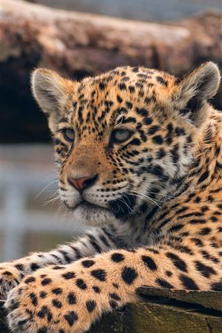 iPhone Wallpaper Leopard, cute animal