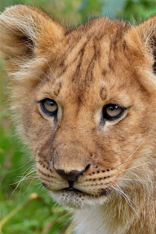 iPhone Wallpaper Lion cub look at you