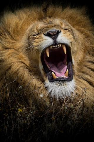 Lion Yawn Black Background 1080x1920 Iphone 8 7 6 6s Plus Wallpaper