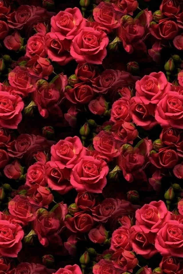 список картинки много роз красных представляем вниманию