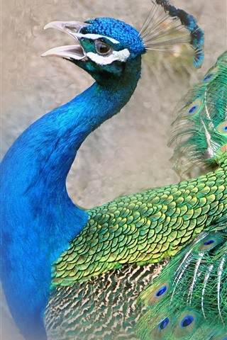 iPhone Wallpaper Peacock, beautiful tail feathers