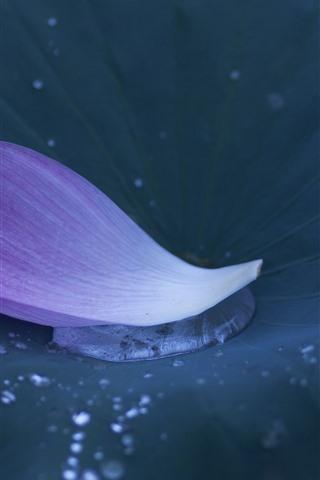iPhone Wallpaper Pink Lotus petal, leaf, water droplets
