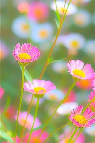 iPhone Wallpaper Pink and white chrysanthemum, hazy, spring