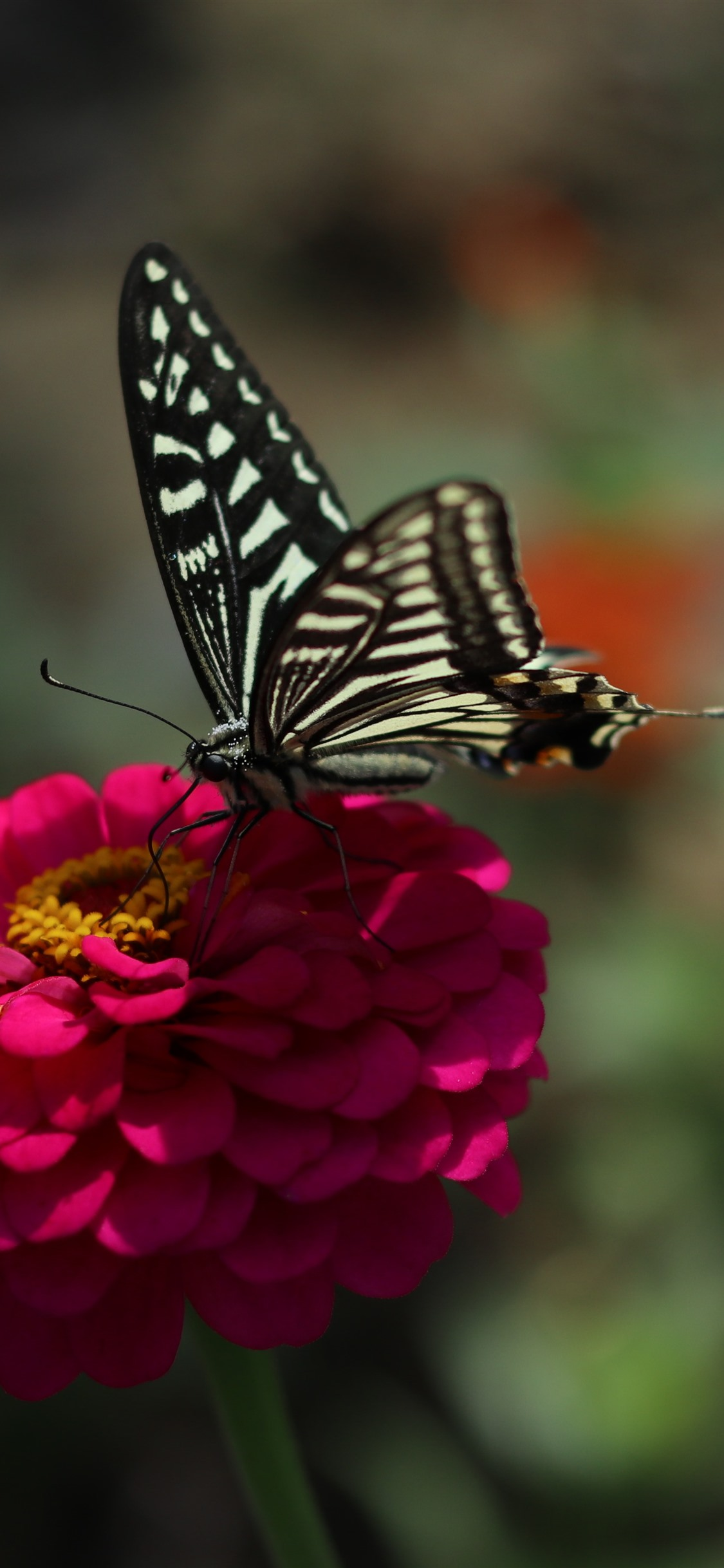 Pink Flower Black Butterfly Spring 1125x2436 Iphone 11 Pro Xs X Wallpaper Background Picture Image