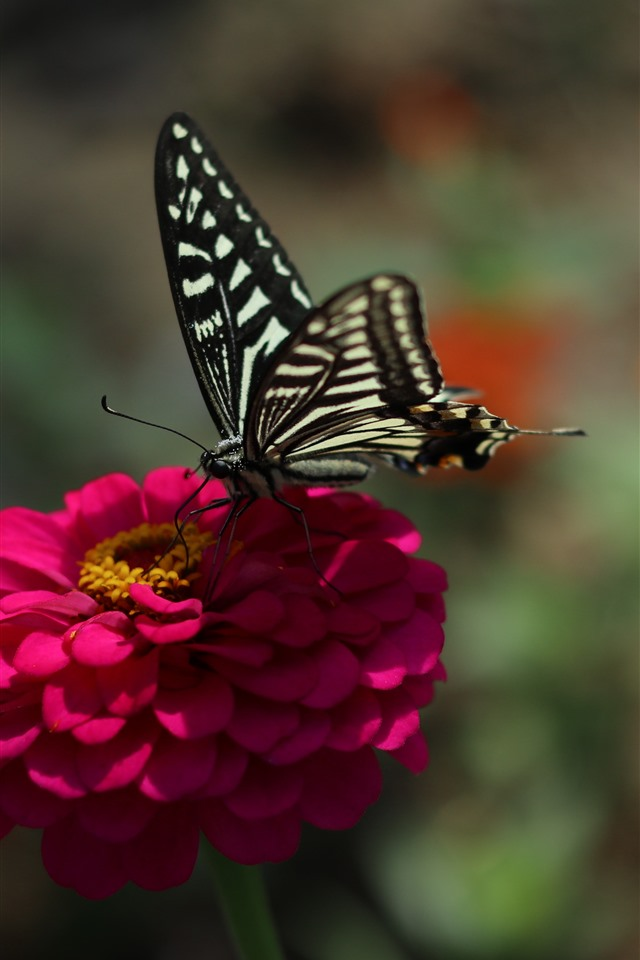 wallpaper pink flower black butterfly spring 5120x2880