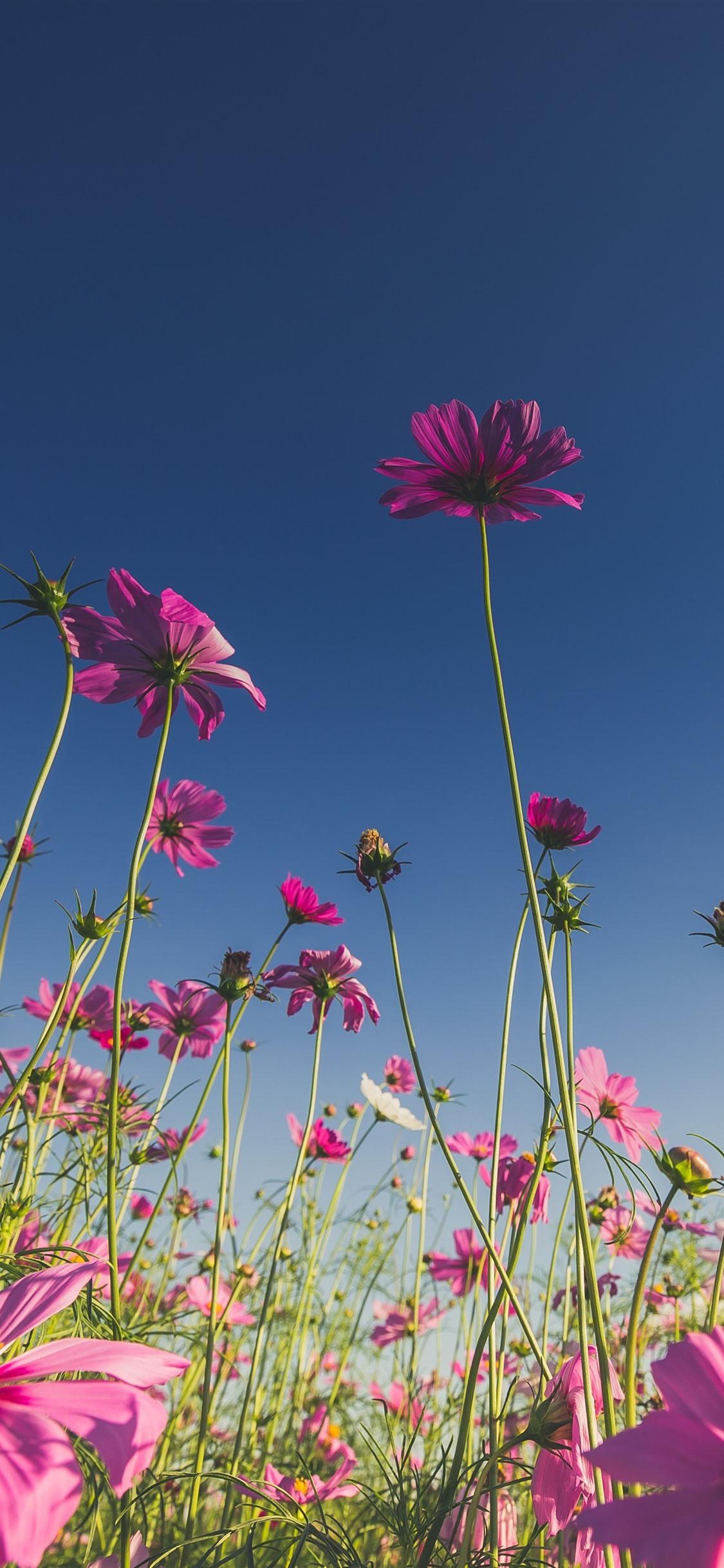 ピンクの花 コスモス 青空 1125x2436 Iphone 11 Pro Xs X 壁紙 背景