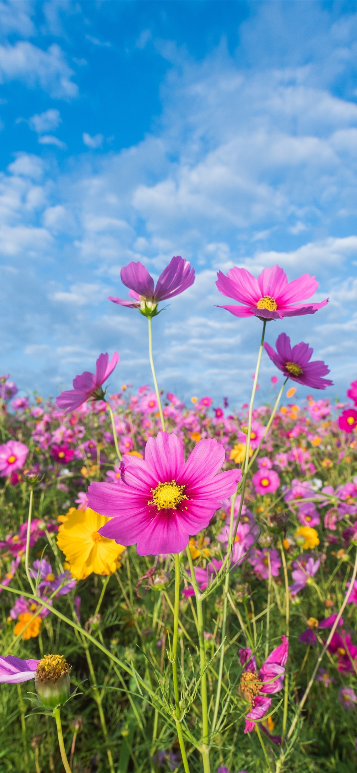 Pink Flowers Cosmos Meadow Summer 1242x2688 Iphone Xs Max