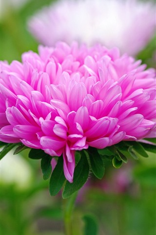 Pink Flowers Petals Spring 750x1334 Iphone 8 7 6 6s