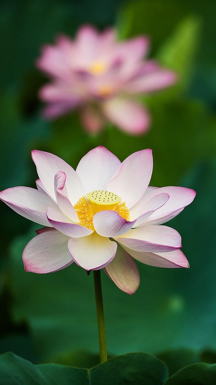 Pink Lotus Flowers Green Leaves 750x1334 Iphone 8766s Wallpaper