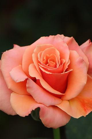 iPhone Wallpaper Pink rose, petals, bokeh
