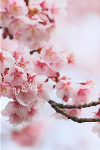 Fonds D Ecran Sakura Rose Fleurs Printemps Fleurs 1080x1920