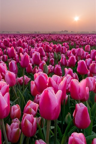 iPhone Wallpaper Pink tulips fields, sunset, Netherlands