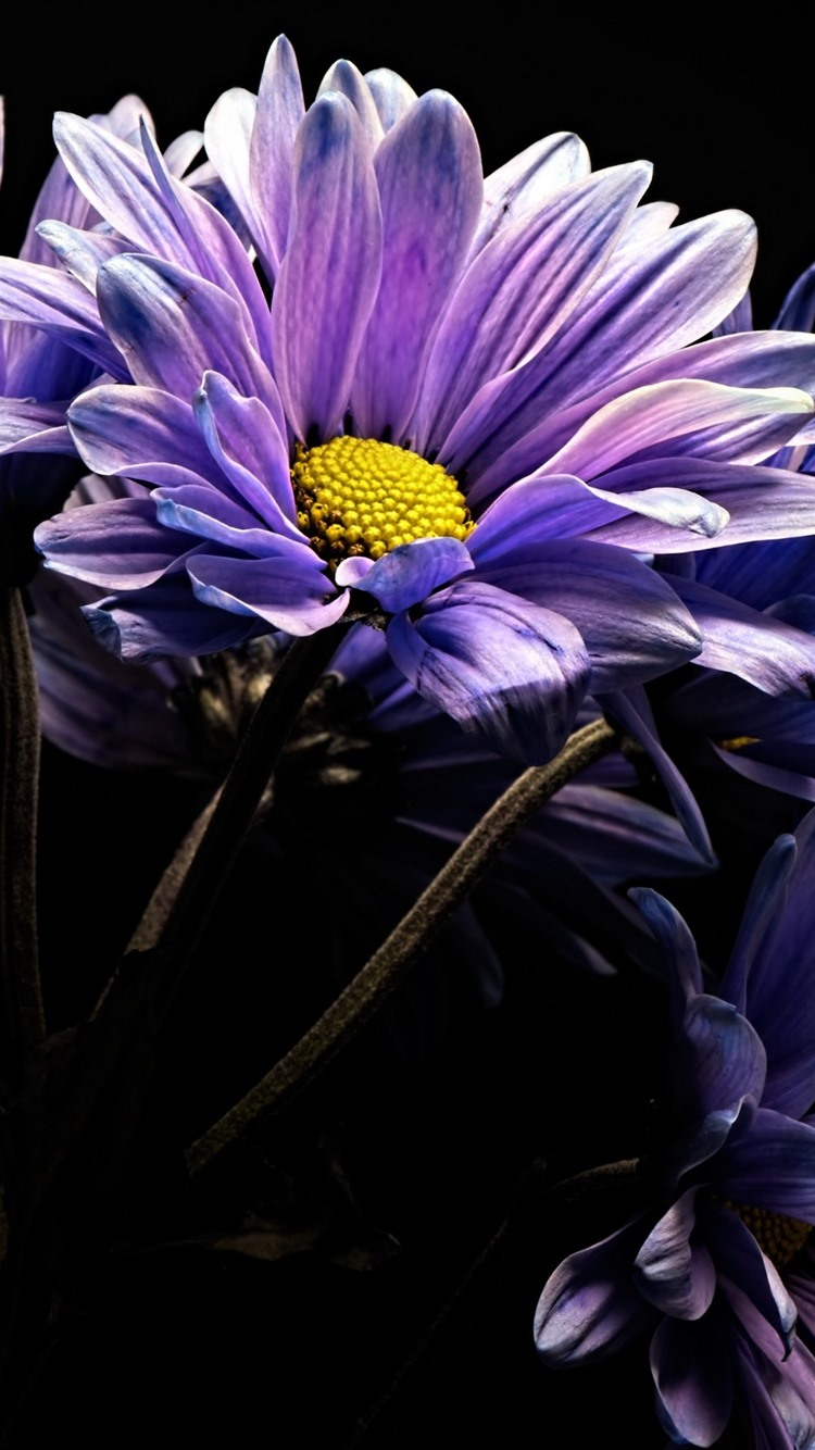 Purple Gerbera Flowers Black Background 750x1334 Iphone 8766s