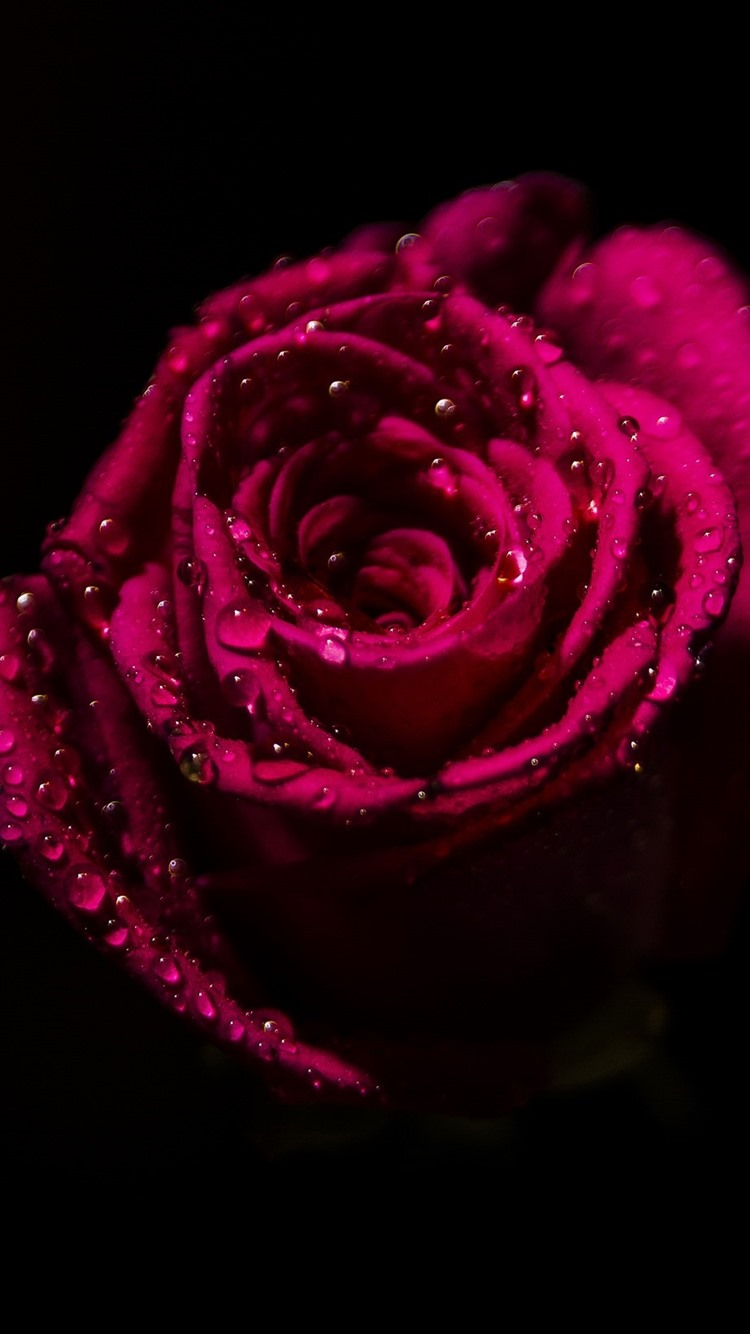 Red Rose Petals Water Droplets Black Background 750x1334