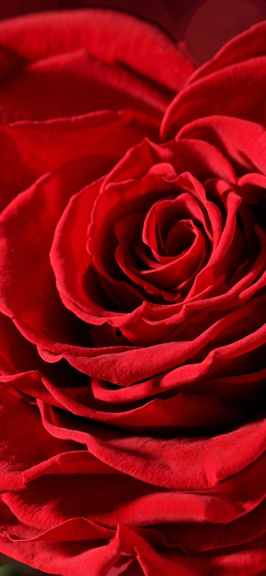 Red Roses Petals Macro Photography 1242x2688 Iphone Xs Max