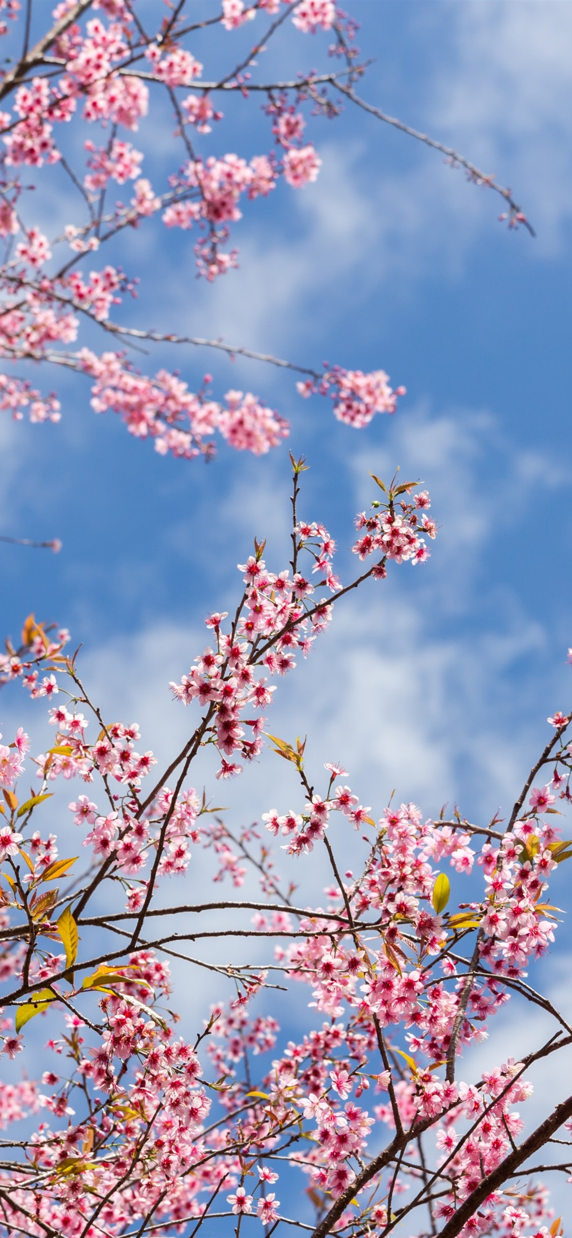Wallpaper Spring Sakura Flowering Pink Flowers Twigs
