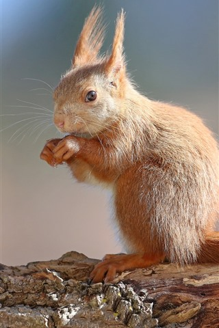 iPhone Wallpaper Squirrel standing up