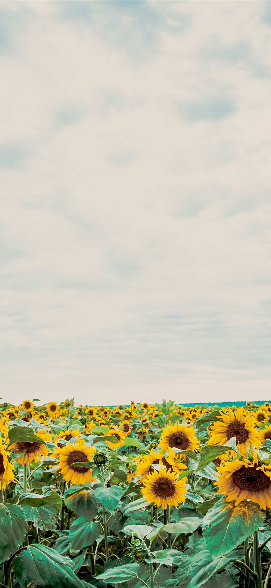 Sunflowers Blue Sky White Clouds 1125x2436 Iphone Xs X Wallpaper