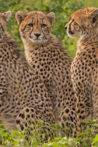 iPhone Wallpaper Three little cheetahs