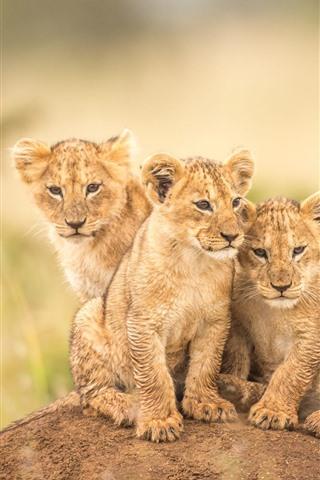 iPhone Wallpaper Three little lions, cubs