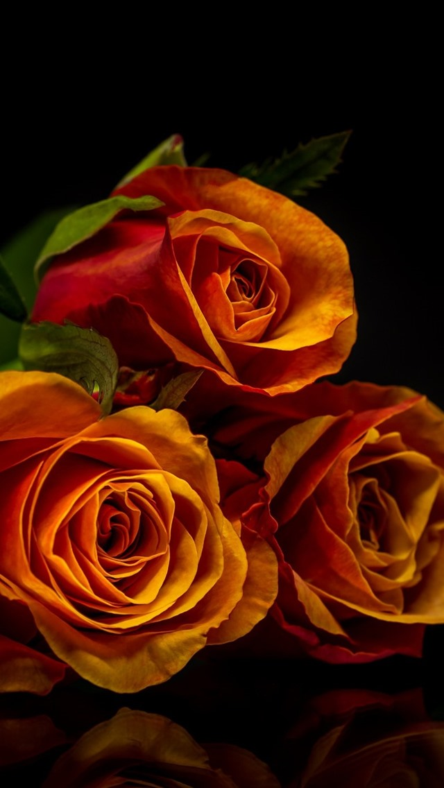 Three Orange Roses Black Background 750x1334 Iphone 8 7 6 6s Wallpaper Background Picture Image