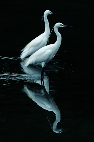 iPhone Wallpaper Two egrets, black background, reflection in the water