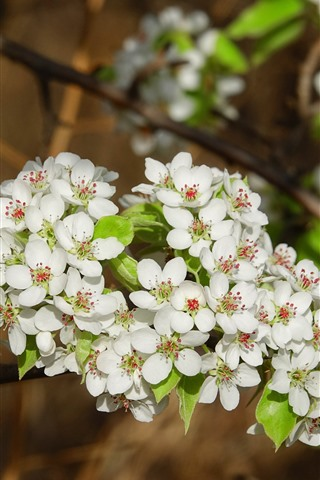 iPhone Wallpaper White pear flowers, blossom, spring
