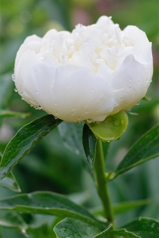 iPhone Wallpaper White peony, water droplets
