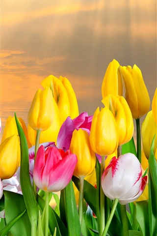 iPhone Wallpaper Yellow and pink white tulips, sun rays