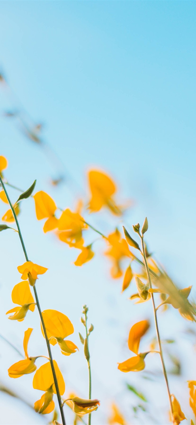 Yellow Flowers Blue Sky Background 1242x2688 Iphone 11 Pro Xs Max Wallpaper Background Picture Image
