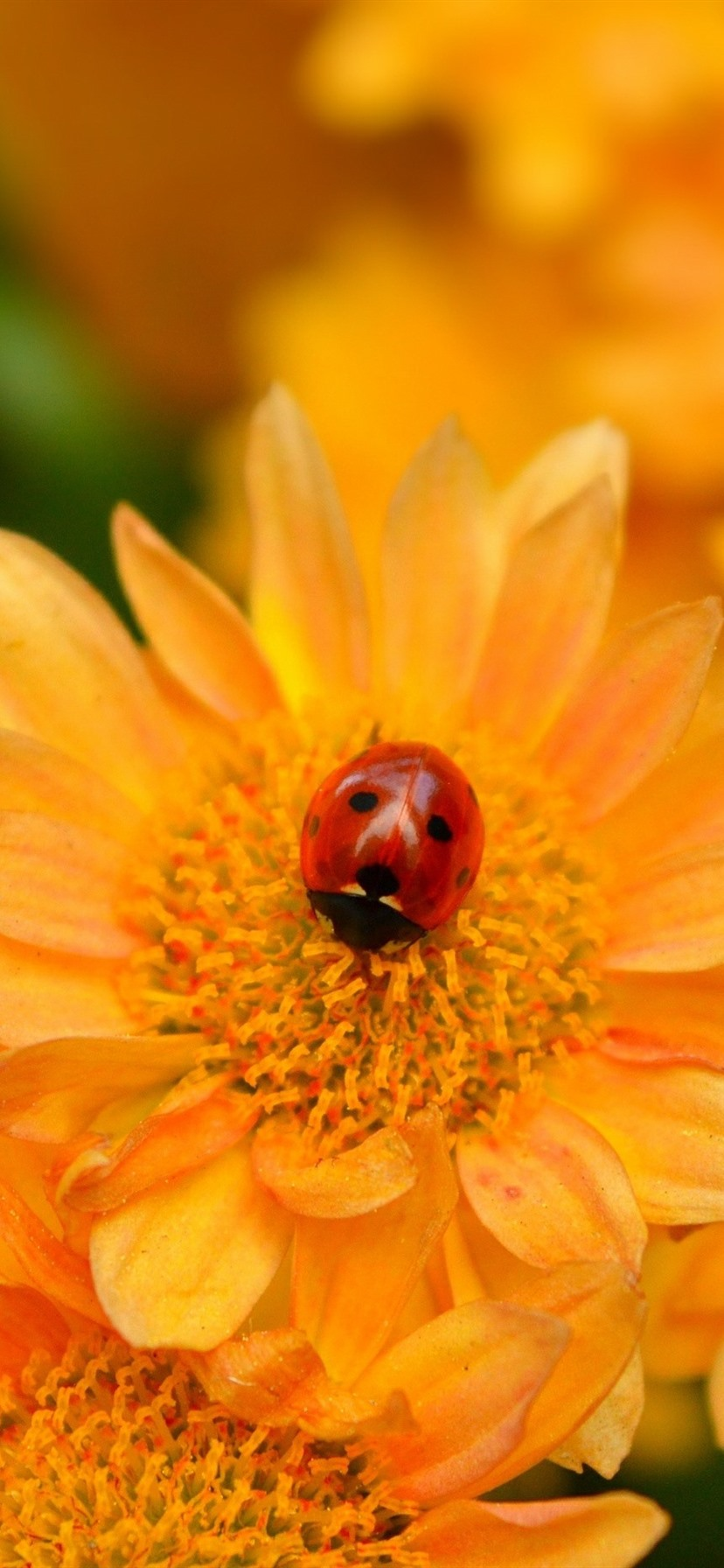 Yellow Flowers Ladybug 828x1792 Iphone 11 Xr Wallpaper Background Picture Image