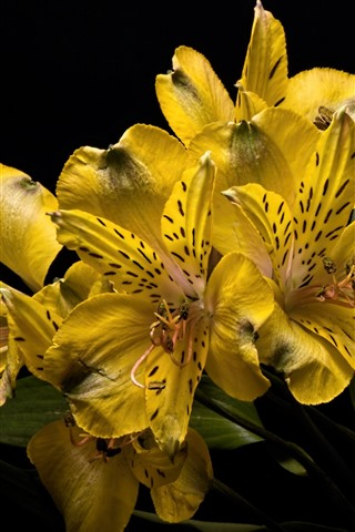 iPhone Wallpaper Yellow lily flowers close-up, black background