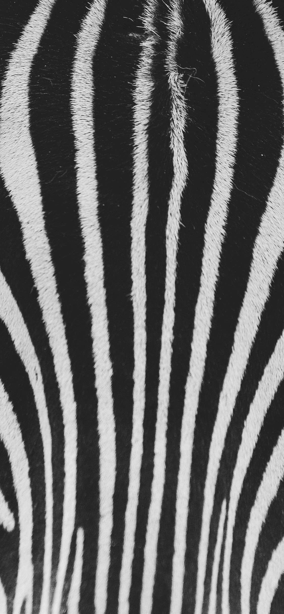 Zebra White And Black Texture 1125x2436 Iphone 11 Pro Xs X Wallpaper Background Picture Image