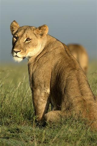 iPhone Wallpaper African, lioness look back, grass