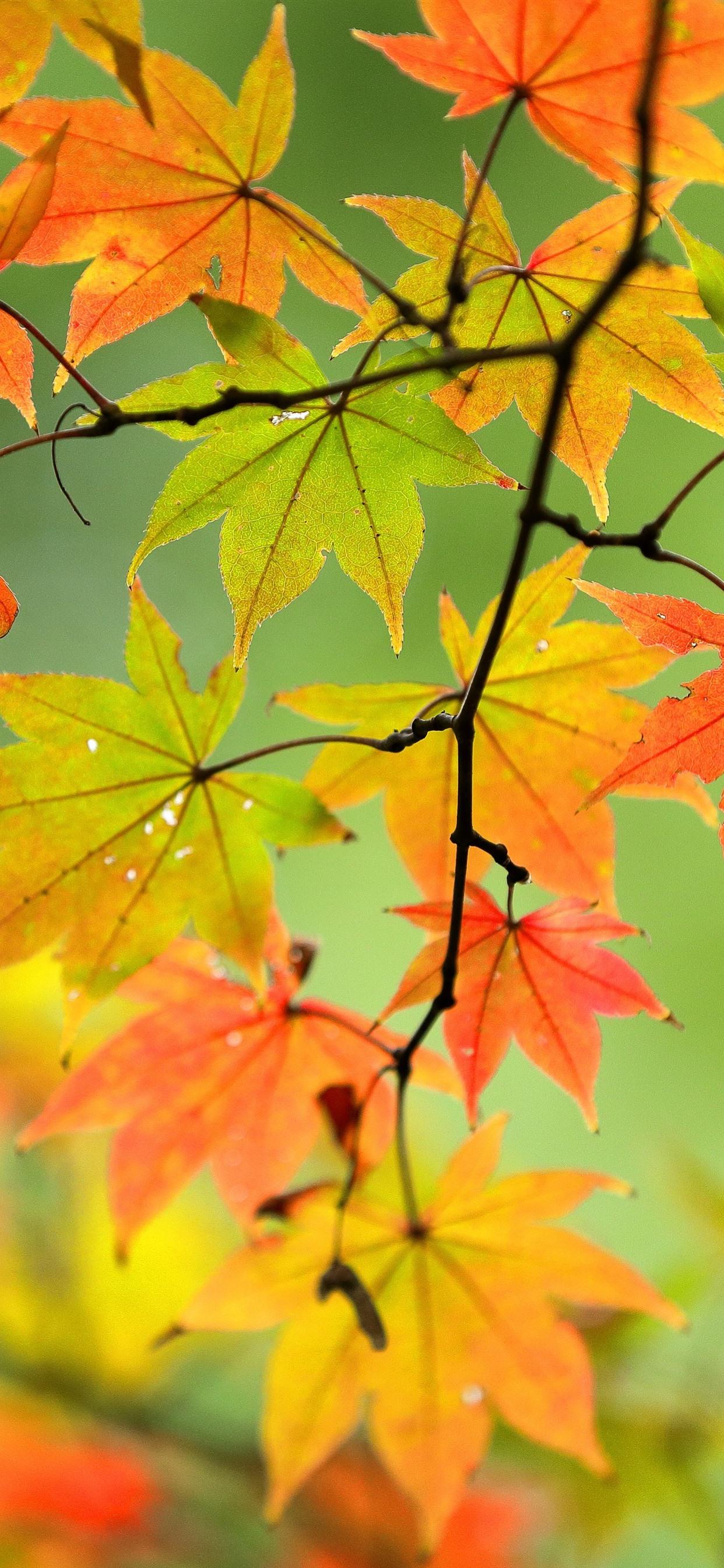 foto de Fonds d'écran Automne, feuilles d'érable, brindilles, nature ...