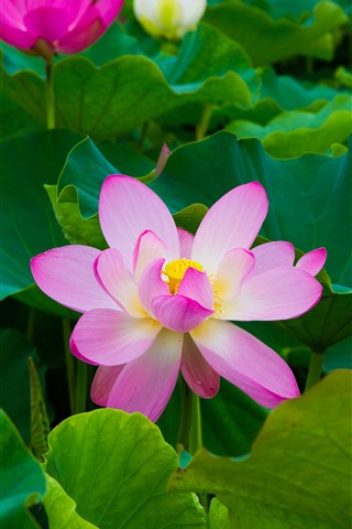 iPhone Wallpaper Beautiful pink lotus, green leaves, park