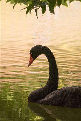 iPhone Wallpaper Black swan, pond
