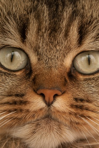 iPhone Wallpaper Brown cat front view, face, eyes, whisker