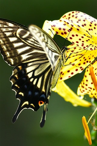 iPhone Wallpaper Butterfly and yellow lily flower