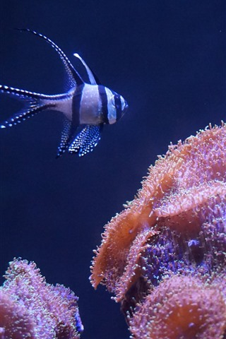 iPhone Wallpaper Coral and clownfish