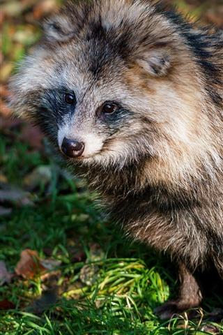 iPhone Wallpaper Cute raccoon, sitting on ground, wildlife
