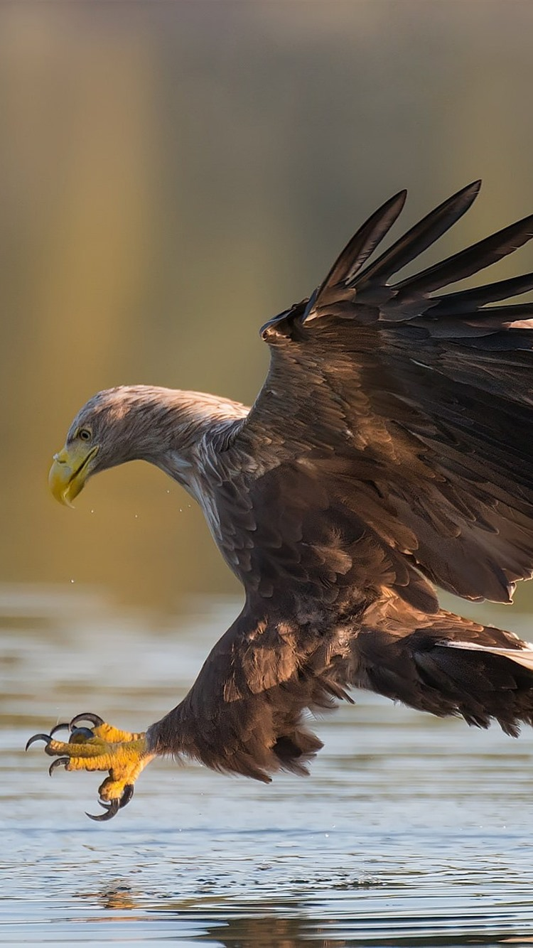 Eagle Water Wings Bird 750x1334 Iphone 8 7 6 6s Wallpaper Background Picture Image