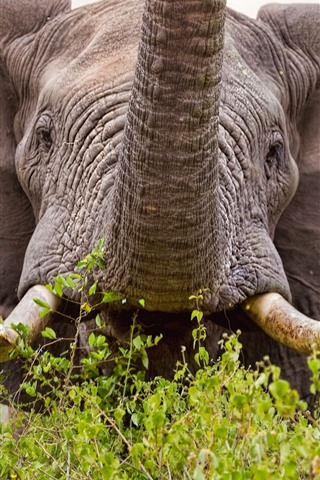 iPhone Wallpaper Elephant front view, big ears, tusks, nose