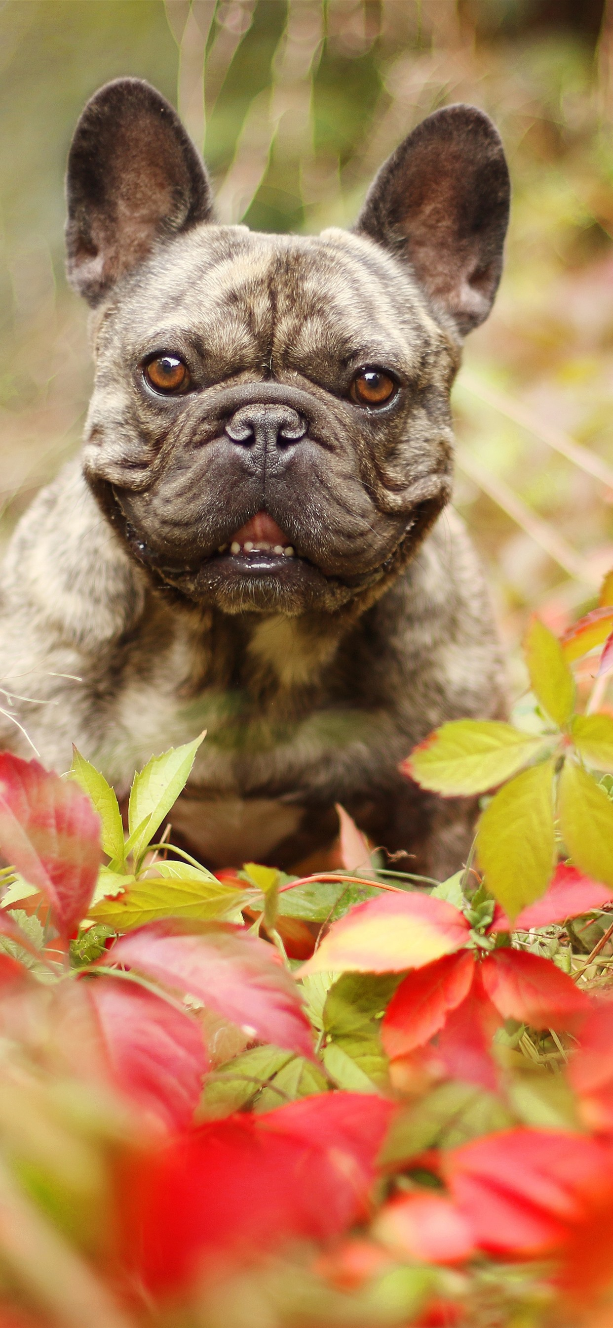 French Bulldog Leaves Autumn 1242x2688 Iphone Xs Max