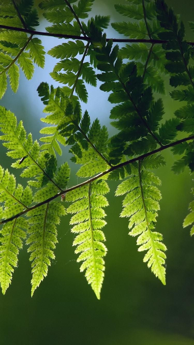 Green Fern Leaves Twigs 750x1334 Iphone 8 7 6 6s Wallpaper